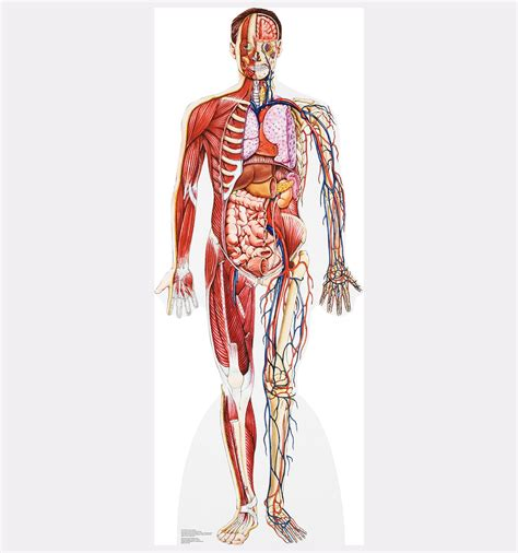 anatomy cross sections life size anatomy cross section cardboard standup