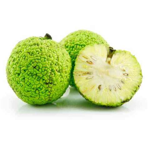 the fruit tree the osage orange tree useful and historically significant