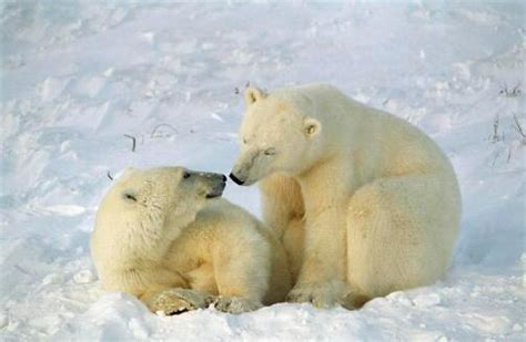 imagenes animales polares fotos de osos polares en el 193 rtico