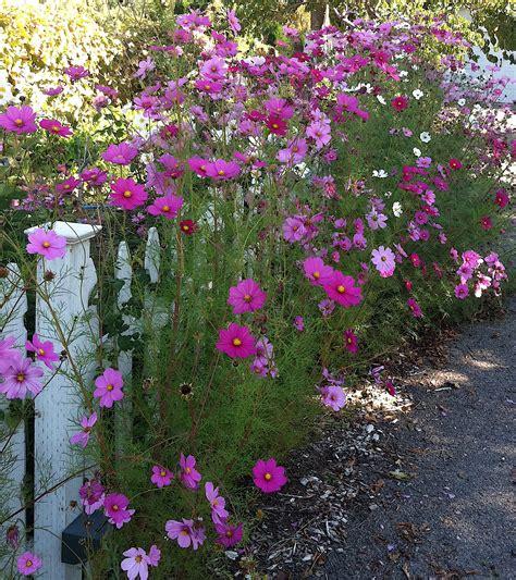 Nice Garden Seeds Cheap 3 How To Grow Cosmos Flowers Cheap Garden Flowers