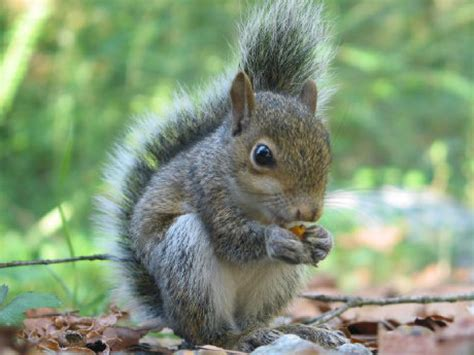 squirrels eat almost 14 000 tulip bulbs in windsor park toronto star