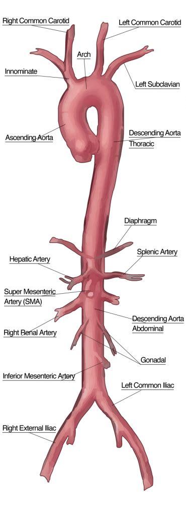 diagram of the aorta aorta