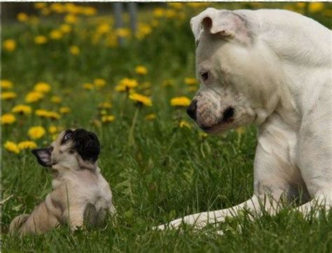 pugs r us 17 best images about save staffordshire terriers they are not pit bulls on