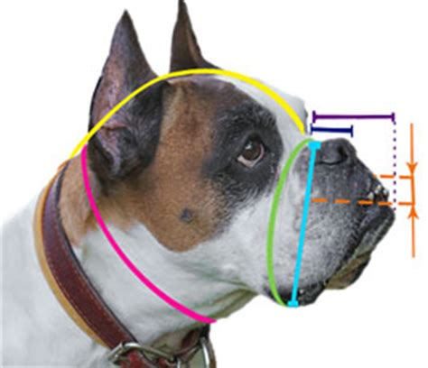how to your boxer measure your boxer for the correct muzzle size boxer harness boxer muzzle