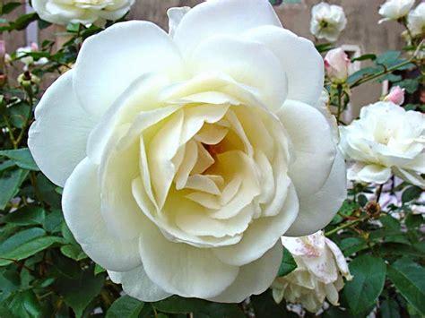 imagenes de flores blancas hermosas imageslist com love images white flowers part 3