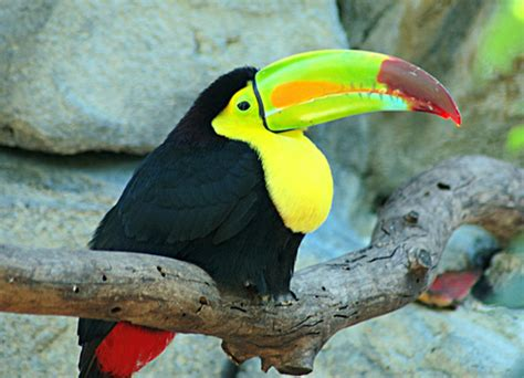 imagenes tucanes reales keel billed toucan tuc 225 n real the keel billed toucan