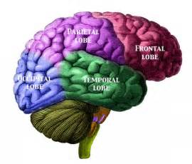 brain color brains this color coded chart labels the l