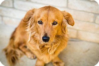 san antonio golden retriever puppies san antonio tx basset hound golden retriever mix meet maeby a for adoption