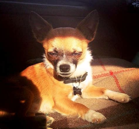 My Chihuahua Fidel Sun by Smiling Chihuahuas I My Chi