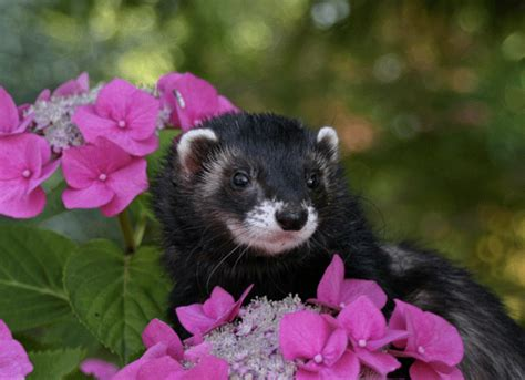 ferrets smell  petmd