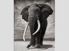 Nick Brandt - Portrait of Elephant on Bare Earth, Amboseli ... Kim And Ron Kiss