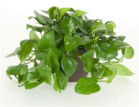 photos pianta da appartamento pothos piante da interno potos da appartamento