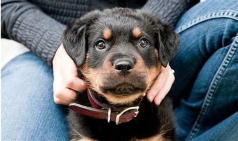 rottweiler aggression problems pets why is my s rottweiler puppy so aggressive health style