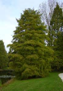 1000 images about taxodium distichum on pinterest
