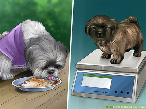 shih tzu gestation period how to breed shih tzus with pictures wikihow