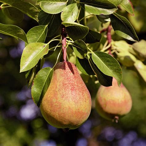 pineapple pear tree peaping  home depot