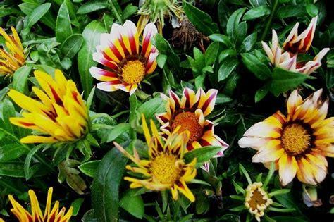 Bunga Gazania Mix 2 plantfiles pictures gazania treasure flower daybreak mix gazania rigens by twenty2libras