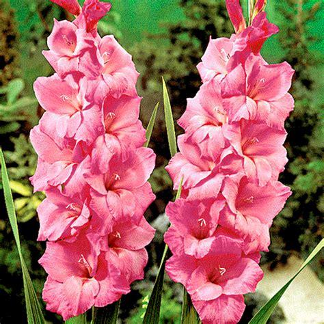 fiore gladiolo i gladioli