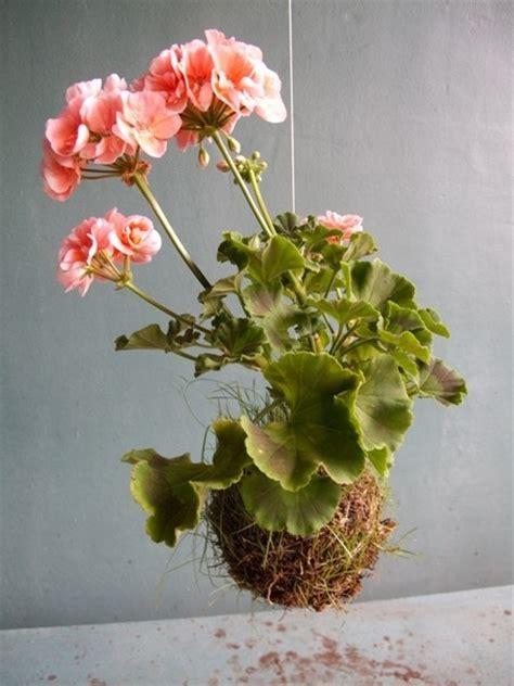 do deer eat geraniums 47 best images about succulents hanging plants on