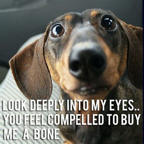 Dachshund Meme - 12 best dachshund memes of all time