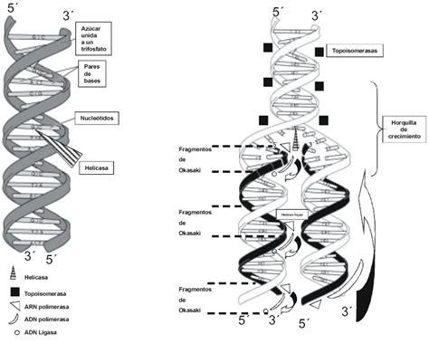 humanos con 3 cadenas de adn el salto de la doble h 233 lice consecuencias del proyecto