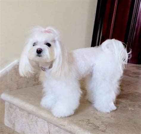 Hair Cut For Maltese Around The Mouth | cut for maltese around the mouth hair cut for maltese