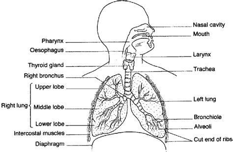 human gas exchange system diagram diagrams of lungs free diagram site