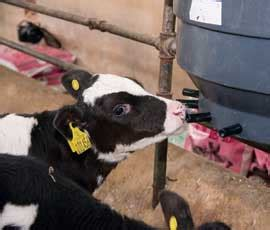 feed once a day milk feeding calves once a day is illegal farmers weekly