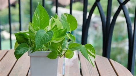 tanaman hias peredam racun polusi udara  ampuh