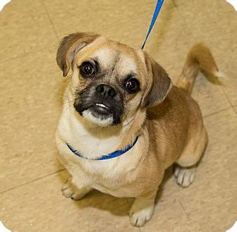 pug puppies for adoption in ohio medina oh pug beagle mix meet zeke a puppy for adoption