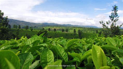Teh Pucuk Di Indogrosir kebun teh sepanjang jalan butterfly s