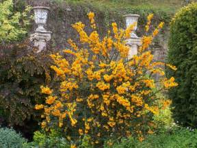 Shrubs With Flowers - chiara s plants berberis darwinii