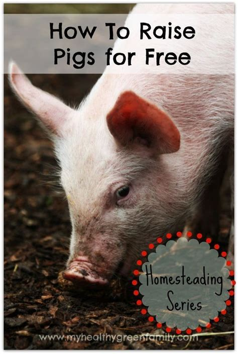 how to raise pigs in your backyard 274 best homestead pigs hogs images on pinterest