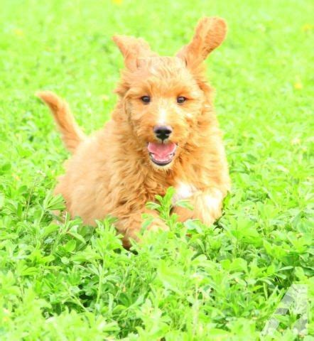 Do F1b Goldendoodles Shed by Goldendoodles F1b Non Shedding For Sale In Minneapolis