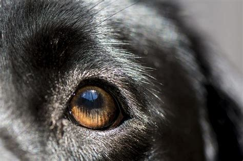 blindness in dogs do cataracts in dogs lead to blindness cuteness
