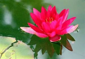 Crimson Lotus Flower Flower Picture Lotus Flower 6