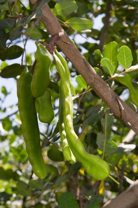 rimedi naturali per intossicazione alimentare foglie di carrubo contro le intossicazioni alimentari