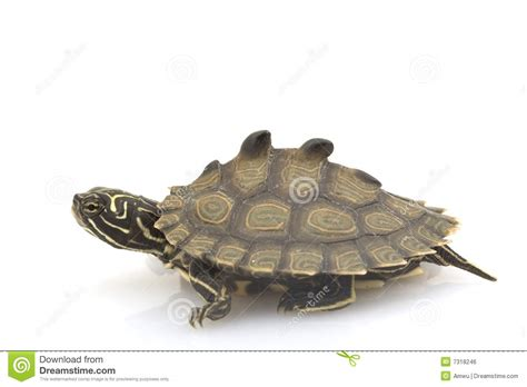 Black Knob Turtle by Cat Breeds A Z With Pictures Breeds Picture