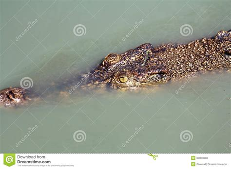 the crocodile under the crocodile under water stock photo image 38873888