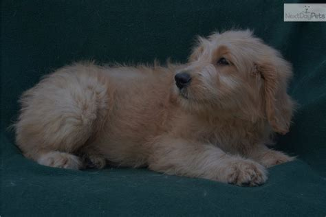 goldendoodle puppy chewing goldendoodle puppy for sale near ocala florida 6ce67016