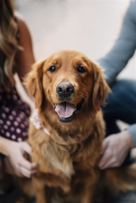 golden retriever boise engaging tails marley daily tagdaily tag
