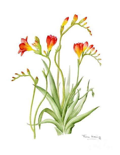 freesia painting by fran henig