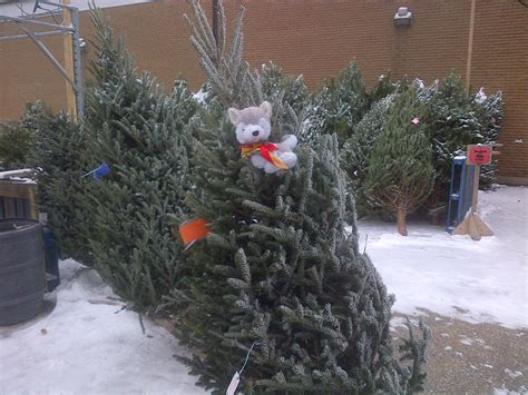timber helps sell christmas trees 24th kitchener