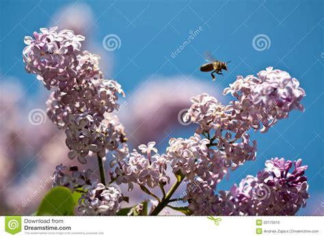 violet avec une abeille image libre de droits