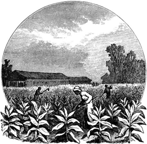 tobacco plantation clipart clipground