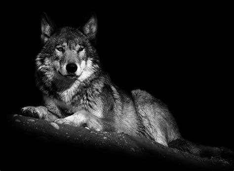 black and white wolf 17 desktop wallpaper gelungene tierphotos seite 16