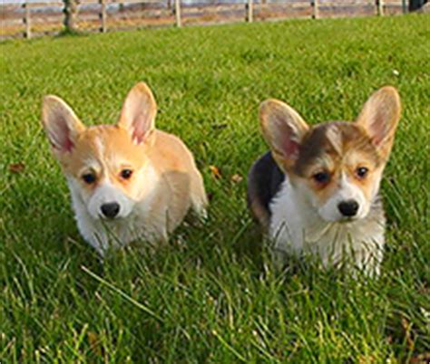 corgi puppies las vegas request your free evaluation for las vegas