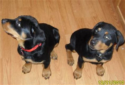 size of a rottweiler how big is a size rottweiler photo