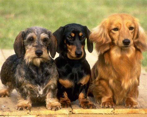 hair weiner lovely dachshund 1280x1024 wallpapers dachshund 1280x1024 wallpapers pictures free