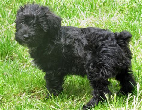 black yorkie poodle maltese and yorkie mix dogs in color breeds picture